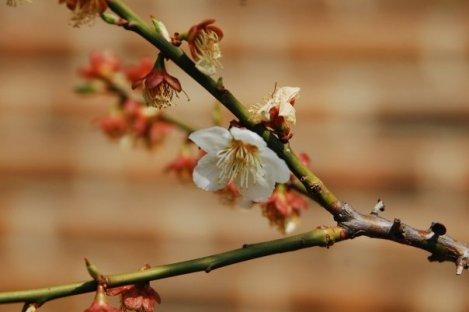 Cherry blossoms abound in Spring