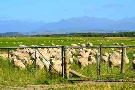 Sheep are everywhere in NZ!