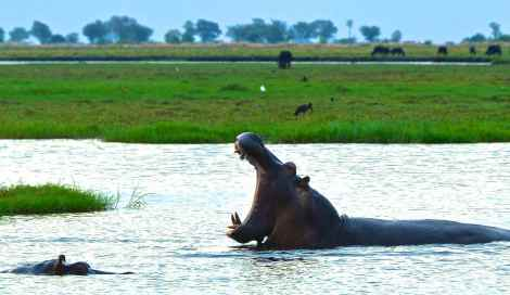 Getting up close and personal with the hippos in Chobe River, Botswana