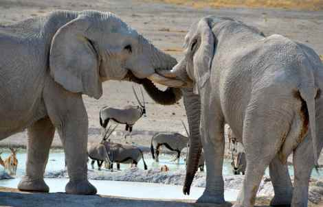 Elephants at the watering hole in Etosha, Namibia