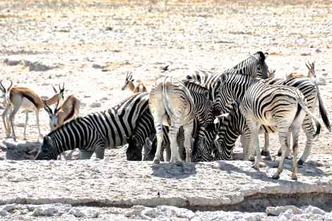 Zebras at the watering hole in Etosha, Namibia