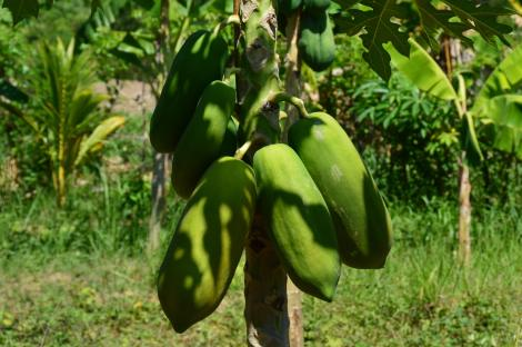 I have many papaya trees in my garden