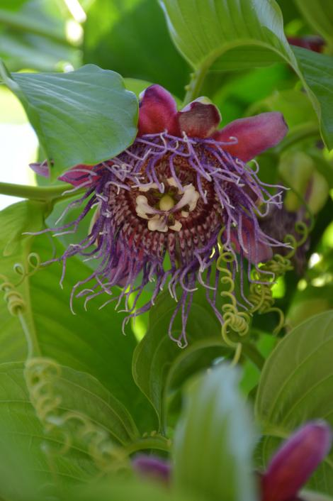 Passionfruit in bloom